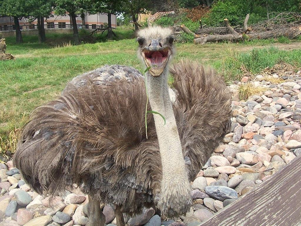 Створять уряд для порятунку страусів Межигір'я?
