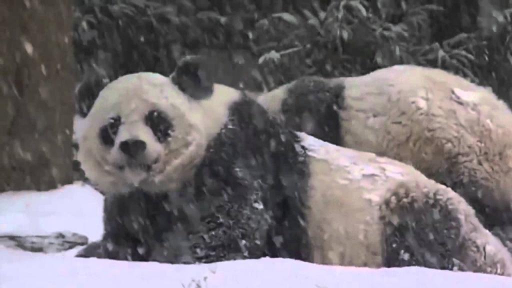 Панда приймає снігову ванну