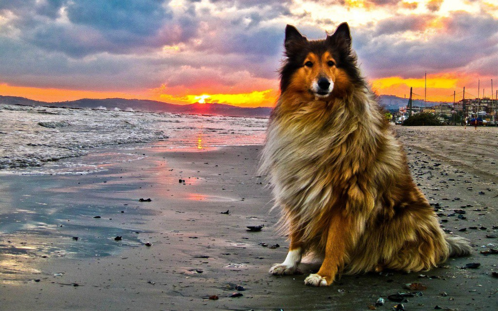 Animals___Dogs_Collie_on_the_beach_042455_