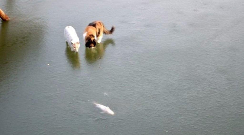 Як коти на зимову рибалку ходили