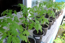 pikirovannaya-rassada-pomidor1