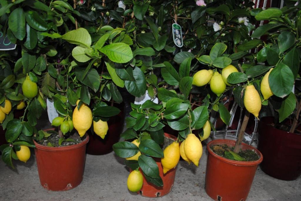 На лимоні — щитівка