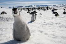 pingvin-sneg-vzglyad
