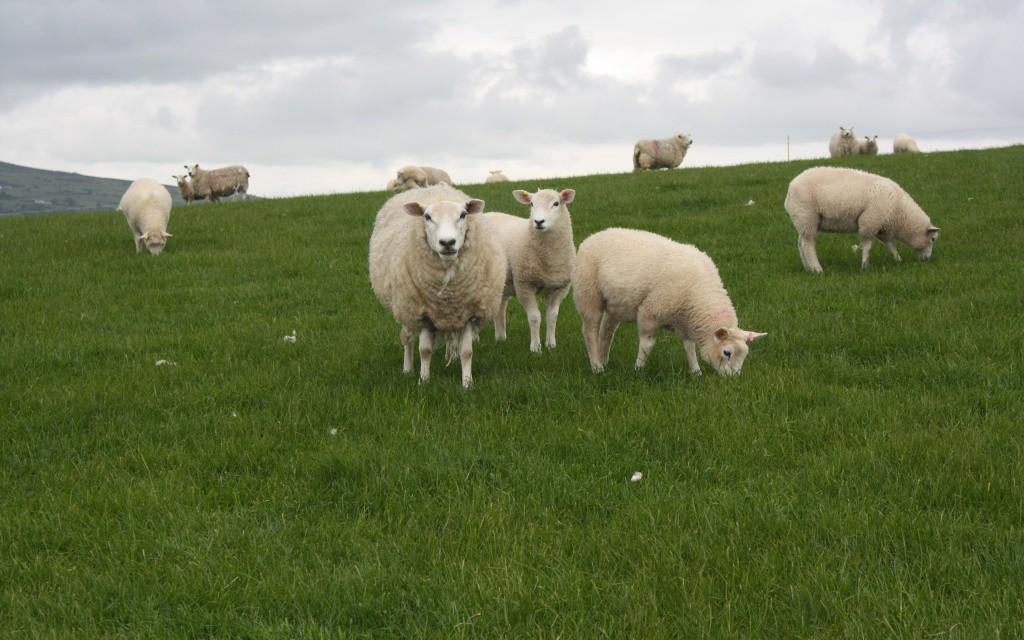 rabstol_net_sheep_09