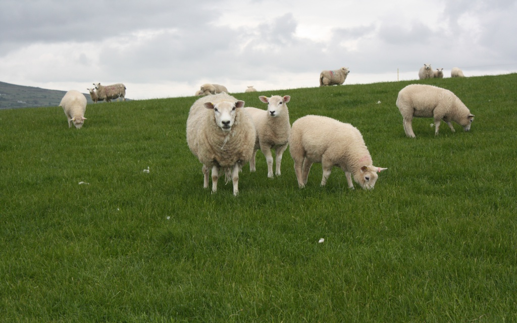 Його вівці заблукали аж до Індії