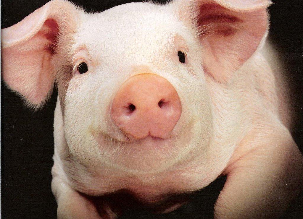 Продали свиню, щоб отримати… кредит