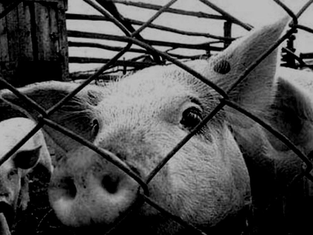 На Тернопілля можуть занести збудник африканської чуми свиней?