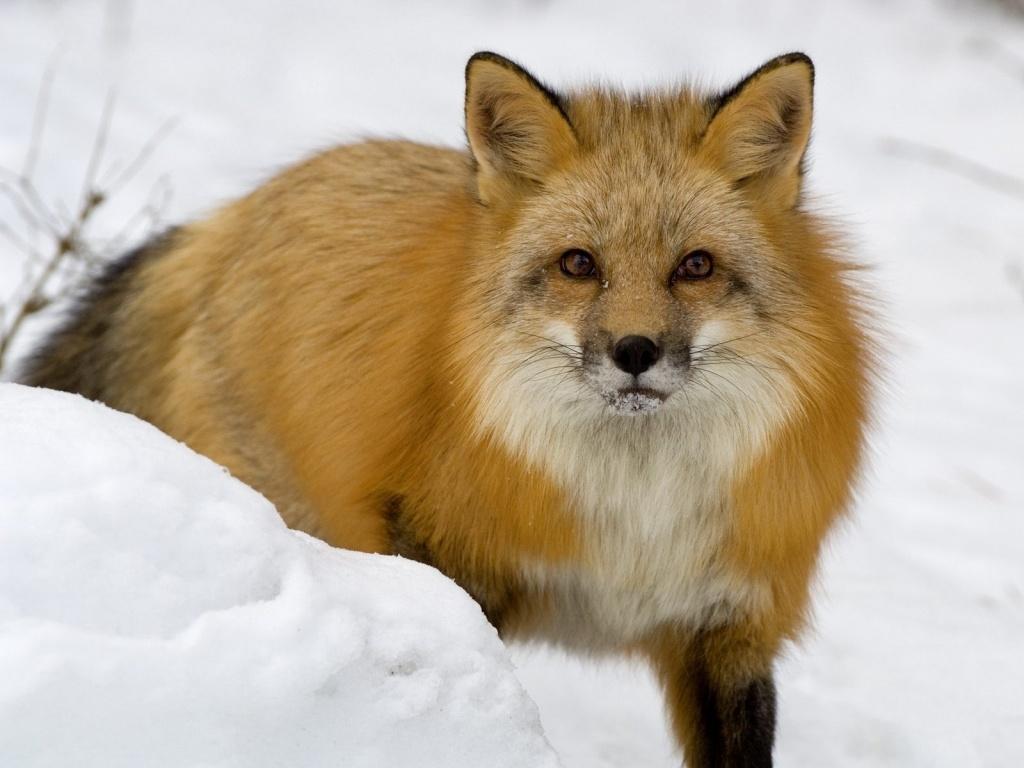 Заворожений лис