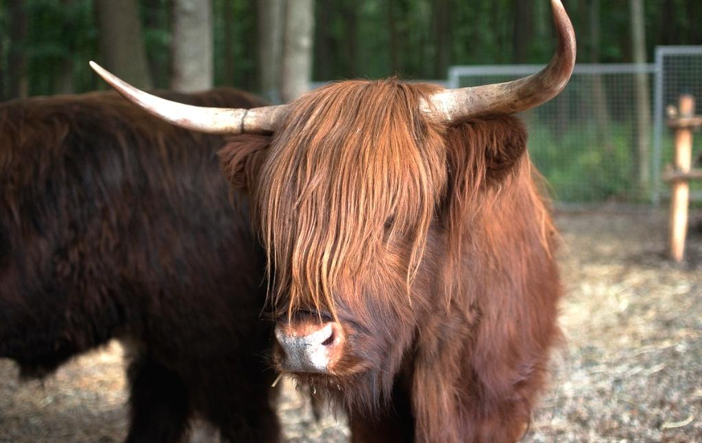 Буйволи, лами, яки і шотландська корова – у Тернополі поповнився зоокуток