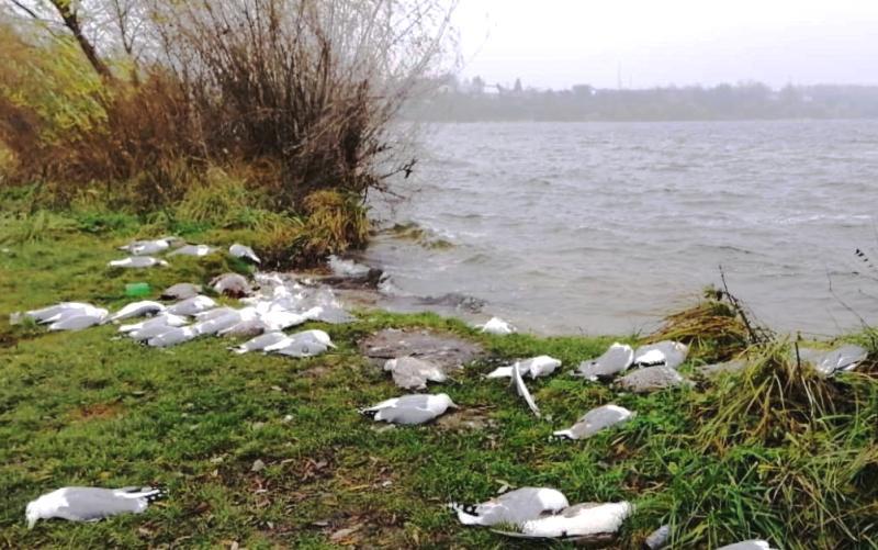 На тернопільському ставі отруєно велику кількість птахів