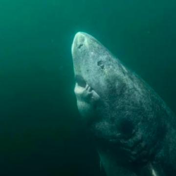 У Гренландії знайшли акулу, якій 500 років