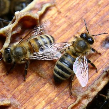 Аби бджолина пісня не стала лебединою