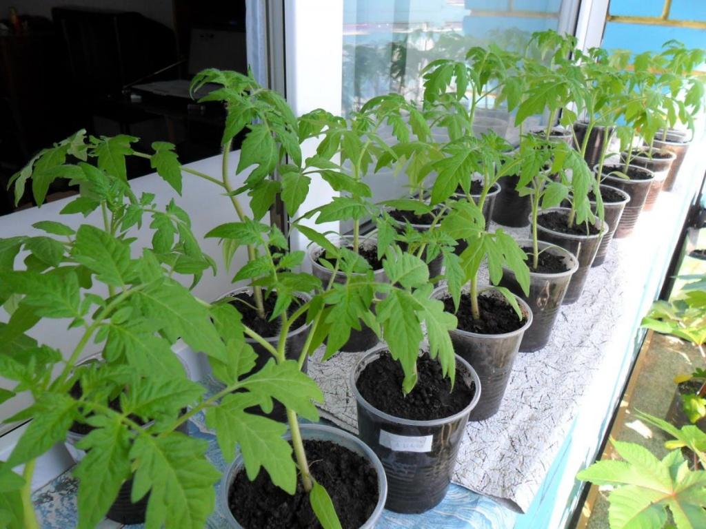 Як виростити добру розсаду