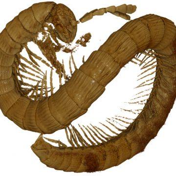 У бурштині з М'янми було виявлено останки двопарноногої багатоніжки, які мають вік понад  99 000 000 років